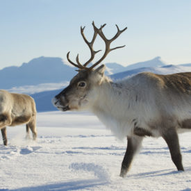 Norway Killing Reindeer To Hide Health Epidemic